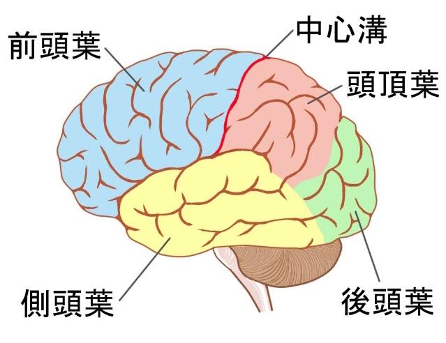 「前頭葉」「前頭前野」「前頭前皮質」「前頭全連合野」違い